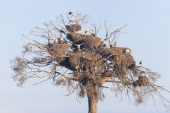 Free Colony Of Storks On A Pine Royalty Free Stock Image - 140152496