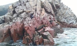Colony of patagonian sea lions and cormorants stock photos