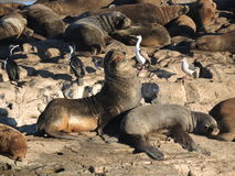 Colony of Patagonian sea lions. In Ushuaia Bay Royalty Free Stock Photos