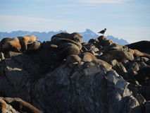Colony of Patagonian sea lions. In Ushuaia Bay Royalty Free Stock Photo