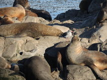 Colony of Patagonian sea lions Royalty Free Stock Photo