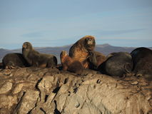 Colony of Patagonian sea lions. In Ushuaia Bay, looking to the camera Royalty Free Stock Images