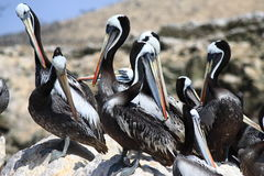 Colony of Pelicans. With beach in background, Paracas National Reservations, Ica, Peru Royalty Free Stock Photos