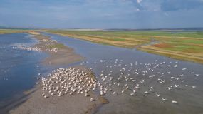 White pelicans in Danube Delta, Romania. Colony of pelicans in the Danube Delta, Romania royalty free stock photography