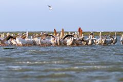 Colony of pelicans Stock Photography