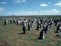 Colony penguins Royalty Free Stock Images
