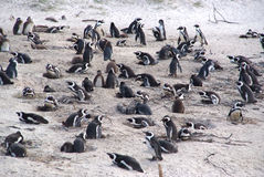 Colony penguins on the beach Royalty Free Stock Photography