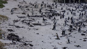 Colony of penguins , Cape Town. Colony of penguins in their natural habitat, Cape Town, South Africa Royalty Free Stock Photography