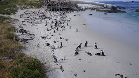 Colony of penguins , Cape Town. Colony of penguins in their natural habitat, Cape Town, South Africa Stock Photography