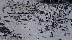 Colony of penguins , Cape Town. Colony of penguins in their natural habitat, Cape Town, South Africa Stock Photo