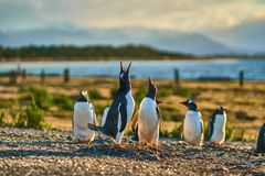 The colony of penguins on the island in the Beagle Canal. Argentine Patagonia. Ushuaia stock photo
