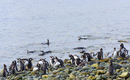 Colony of Penguins Royalty Free Stock Photography