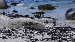 Colony of penguins in their natural habitat. South Africa Royalty Free Stock Images