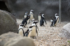 Colony of penguins Stock Images