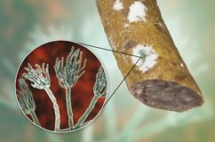 Colony of Penicillium fungus on the sausage surface. Colony of Penicillium mold on the surface of smoked sausage and closeup view of Penicillium fungus, photo stock illustration