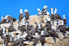 Colony of Peruvian boobies in Ballestas islands Reserve in Peru Stock Photos
