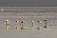 A colony of pink flamingos searches for mollusks and fish in the waters of the lake. Lake Nakuru, KENYA. stock image