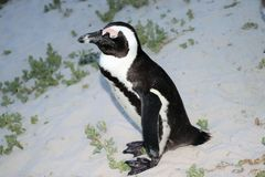 Rehabilitation in progress for damaged penguins. In 1985, a colony of protected South African penguins settled on the beach at Boulders Beach in Simonstown. Soon stock photography
