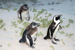 Rehabilitation in progress for damaged penguins. In 1985, a colony of protected South African penguins settled on the beach at Boulders Beach in Simonstown. Soon stock photo
