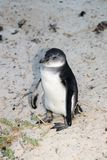 Rehabilitation in progress for damaged penguins. In 1985, a colony of protected South African penguins settled on the beach at Boulders Beach in Simonstown. Soon royalty free stock photos