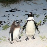 Rehabilitation in progress for damaged penguins. In 1985, a colony of protected South African penguins settled on the beach at Boulders Beach in Simonstown. Soon stock image