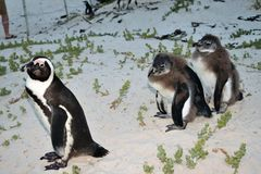 Rehabilitation in progress for damaged penguins. In 1985, a colony of protected South African penguins settled on the beach at Boulders Beach in Simonstown. Soon royalty free stock photography
