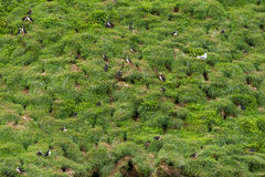 Colony of puffin birds Royalty Free Stock Image