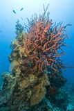 Colony of red Iodine finger sponge. Colony of red Iodine finger sponge (Iotrochota purpurea). Near garden, Sharm el Sheikh, Red Sea, Egypt stock photos