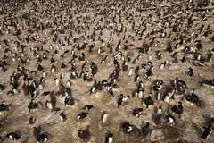 Colony of rockhopper penguins and imperial shags Stock Images