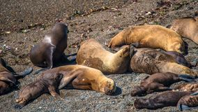 Colony of sea lions and elephant seals at Peninsula Valdes, Pata Royalty Free Stock Photos