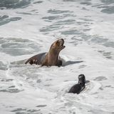 Colony of sea lions and elephant seals at Peninsula Valdes, Pata Stock Image