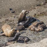 Colony of sea lions and elephant seals at Peninsula Valdes, Pata Stock Images
