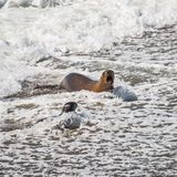Colony of sea lions and elephant seals at Peninsula Valdes, Pata Stock Photos