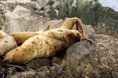Colony of sea lions Eumetopias jubatus on the rock, Russia, Kamchatka, nearby Cape Kekurny, Russian bay stock photography