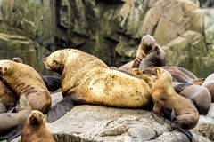 Colony of sea lions Eumetopias jubatus on the rock, Russia, Kamchatka, nearby Cape Kekurny, Russian bay royalty free stock images