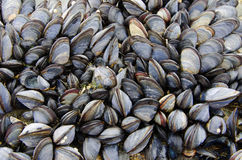 A colony of sea mussels Royalty Free Stock Image