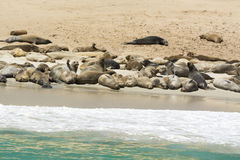 Colony of seal lions Stock Photos