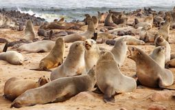 Colony of seals stock photos