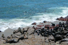 Colony of seals at the Atlantic Ocean Namibia Stock Photography