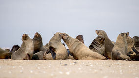 Colony of Seals on the Beach Royalty Free Stock Photos