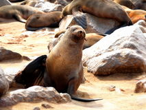 Colony of seals on Cape Cross. Namibia Royalty Free Stock Images
