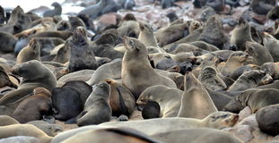 Colony of seals on Cape Cross Royalty Free Stock Photography