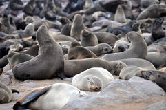Colony of seals on Cape Cross Royalty Free Stock Images