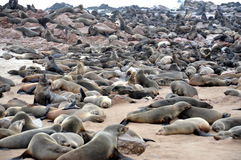 Colony of seals on Cape Cross Stock Photos
