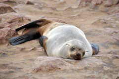 Colony of seals on Cape Cross Royalty Free Stock Photo