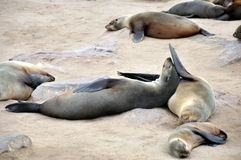 Colony of seals on Cape Cross Stock Images