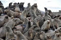 Colony of seals on Cape Cross Royalty Free Stock Image