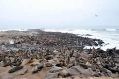 Colony of seals on Cape Cross Royalty Free Stock Photos