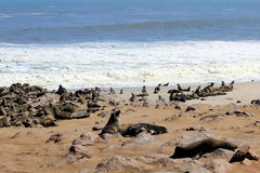 Colony of seals at Cape Cross Reserve, Atlantic Ocean coast Stock Image