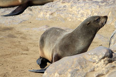 Colony of seals at Cape Cross Reserve, Atlantic Ocean coast Royalty Free Stock Photo